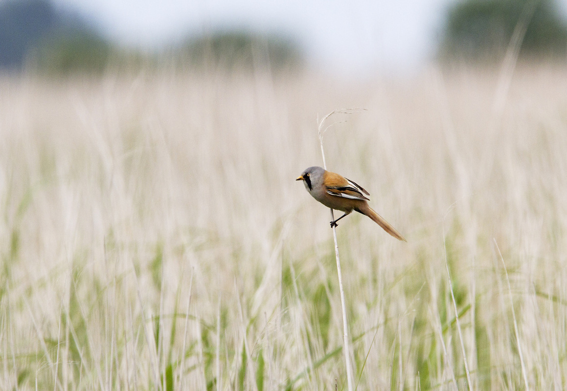 Birds around the North Sea - Bearded Tit, Lauwersmeer National Park, the Netherlands