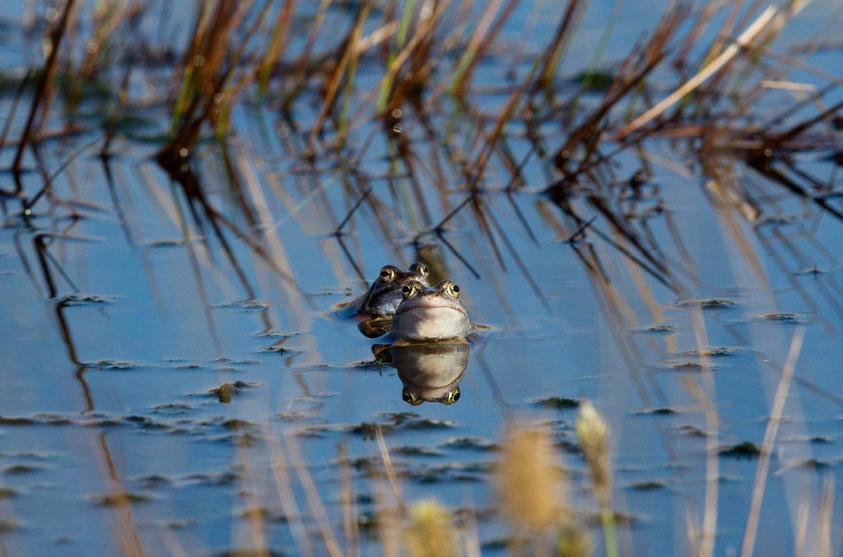 Birds around the North Sea - Moor Frogs, Engbertsdijksvenen, the Netherlands