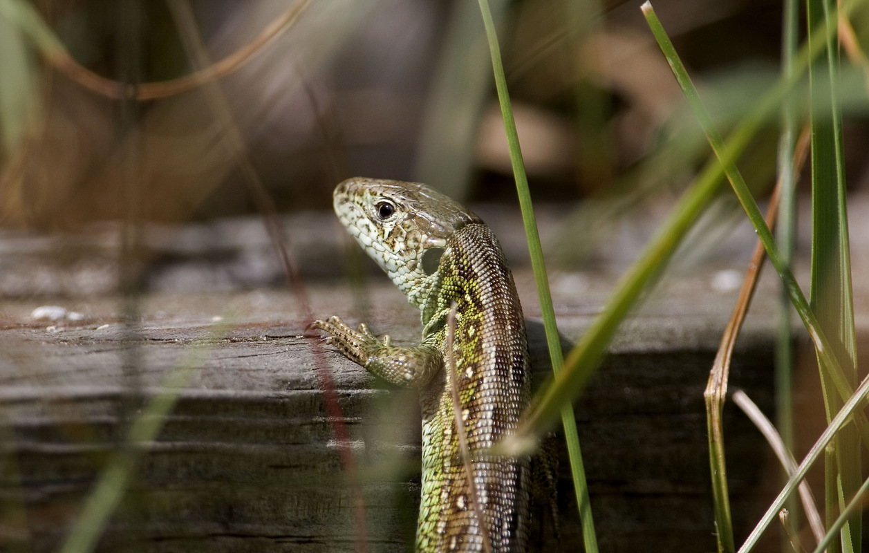 Birds around the North Sea - Sijmen Hendriks Nature Photography - Sand Lizard, the Netherlands