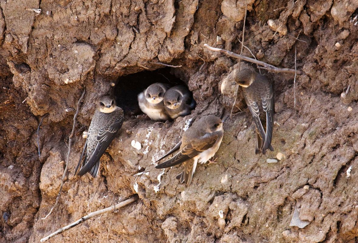 Birds around the North Sea - Juvenile Sand Martins, the Netherlands