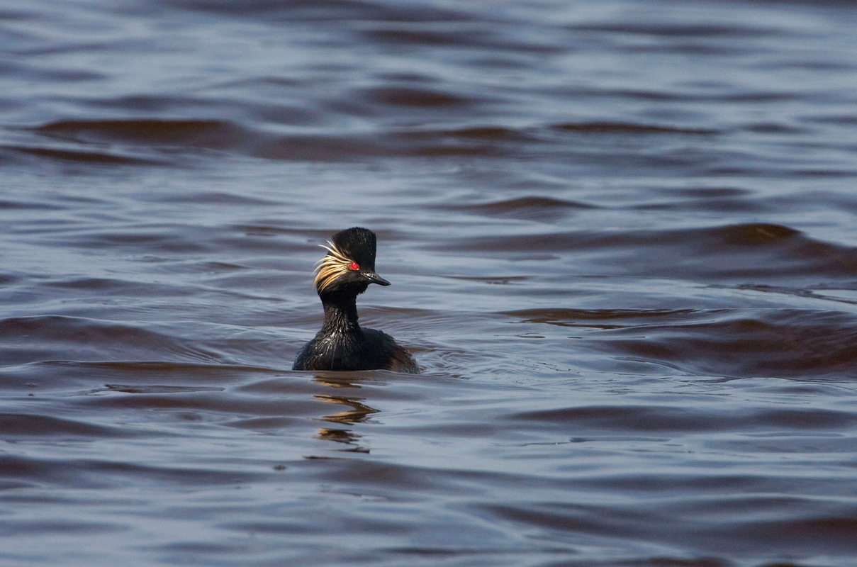 Birds around the North Sea - Black-necked Grebe, the Netherlands