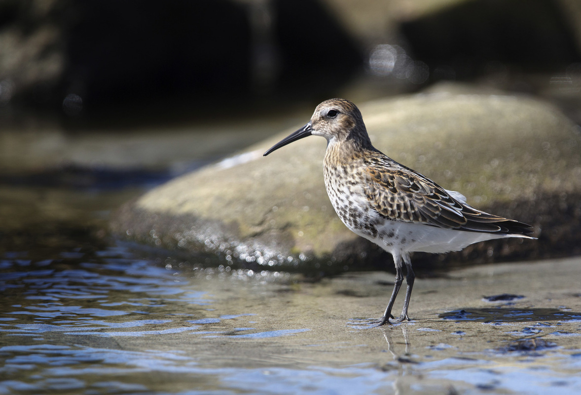 Birds around the North Sea - Dunlin, Nærlandsstranden, Jæren, Norway