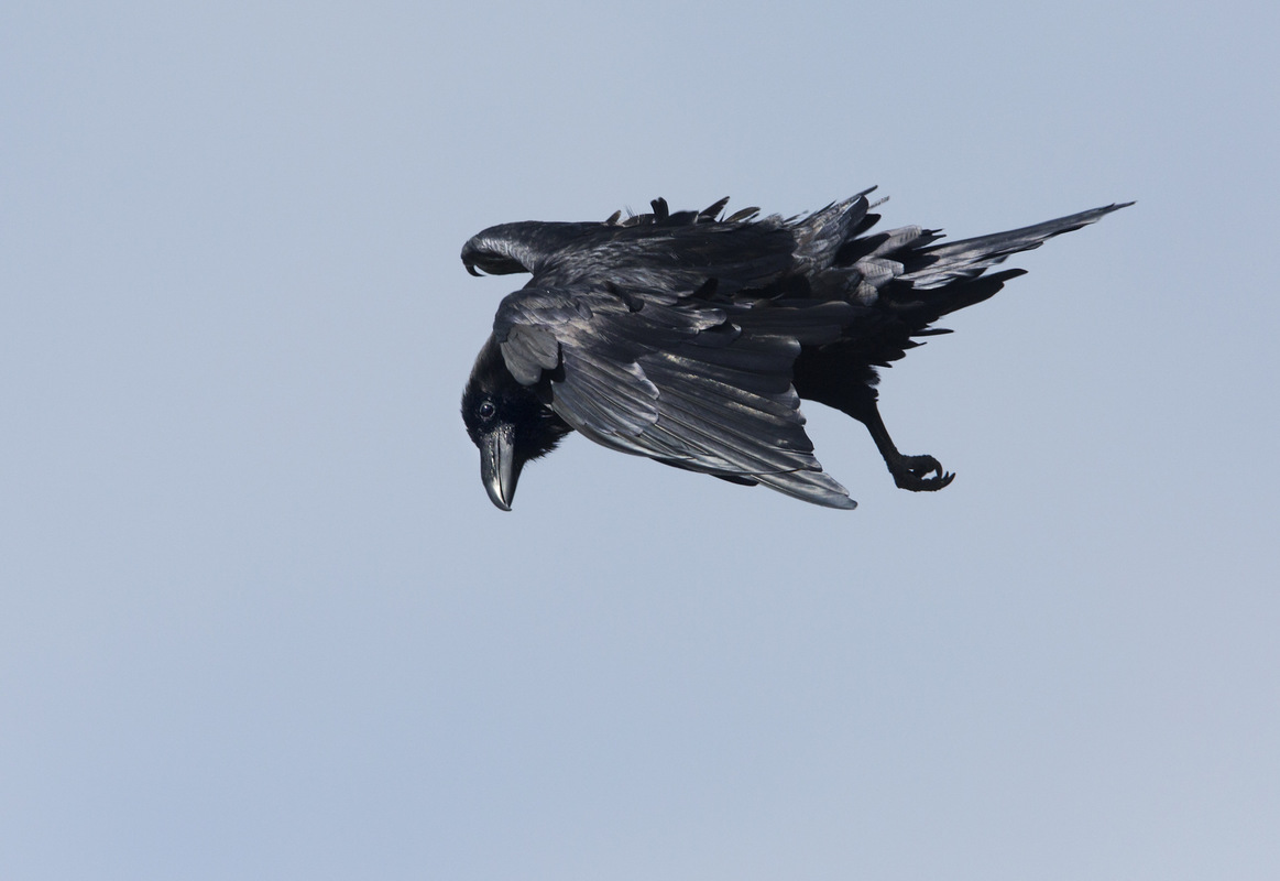 Birds around the North Sea - Raven, Runde, Norway