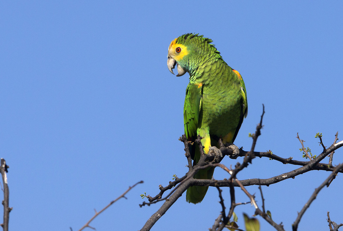 Birds around the North Sea - Yellow-shouldered Parrot, Bonaire, Caribbean Netherlands