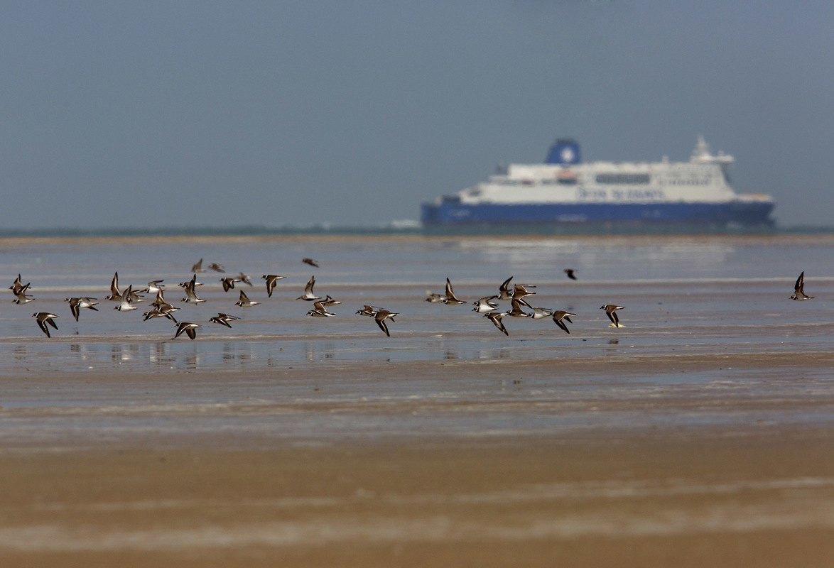 Birds around the North Sea - Ringed Plovers, Calais, France