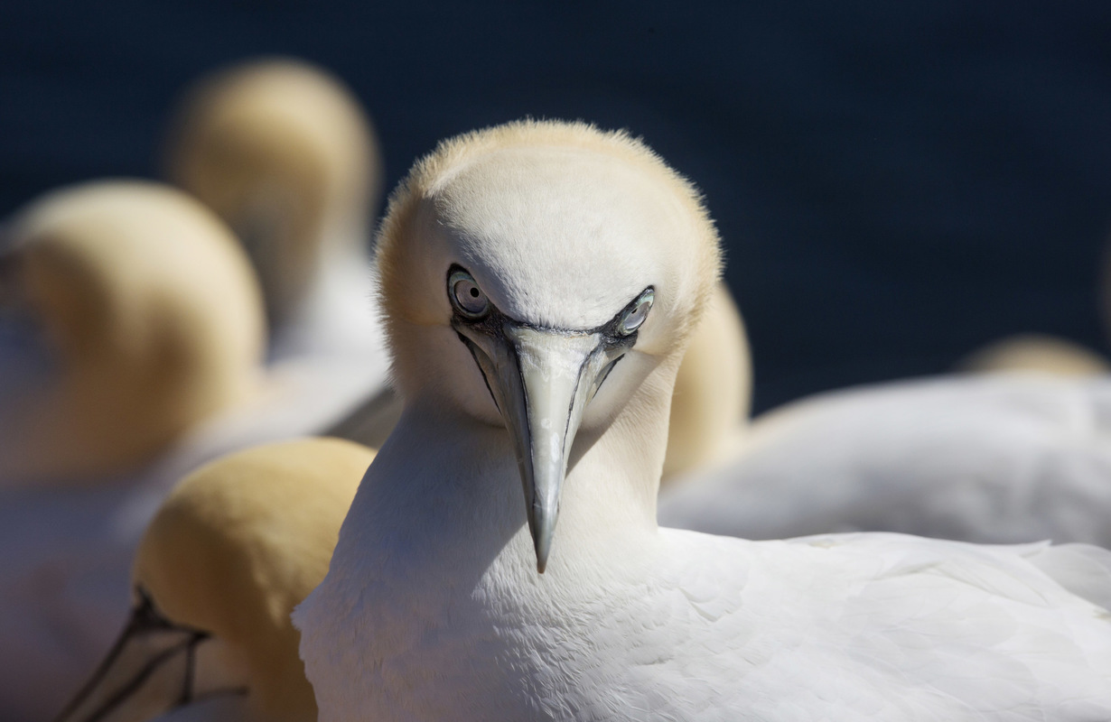 Birds around the North Sea - Gannet, Helgoland, Germany