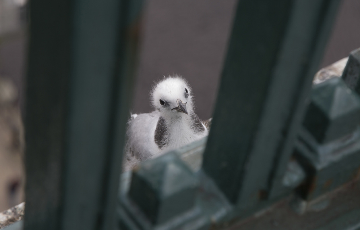 Birds around the North Sea - Kittiwake chick, Newcastle upon Tyne, United Kingdom
