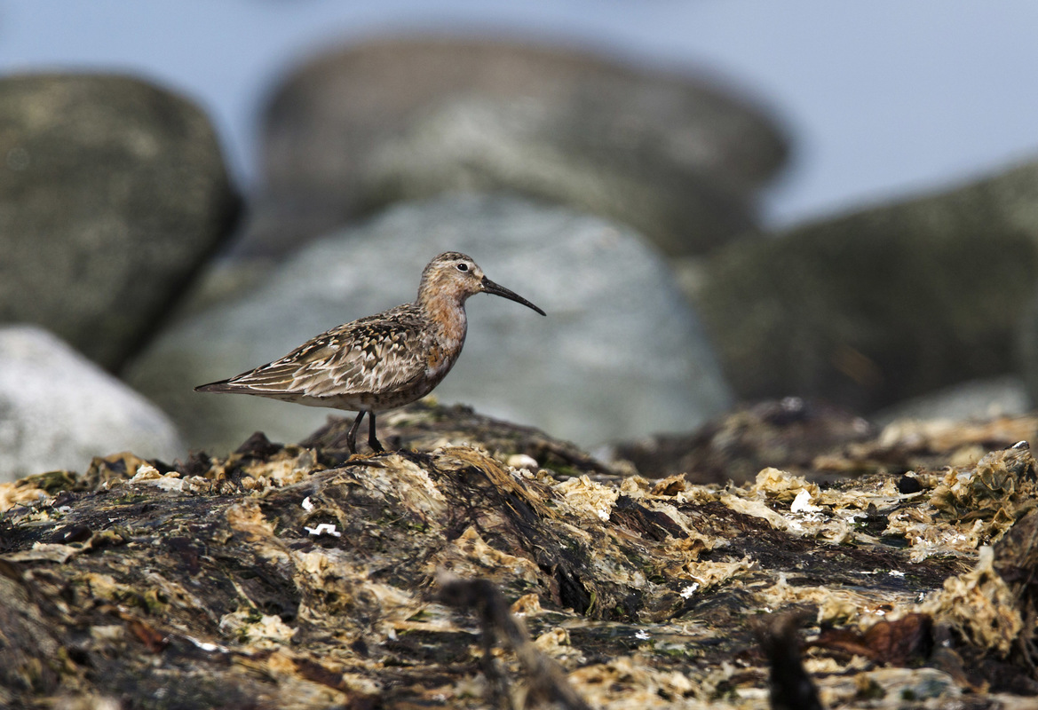 Birds around the North Sea - Curlew Sandpiper, Nærlandsstranden, Jæren, Norway