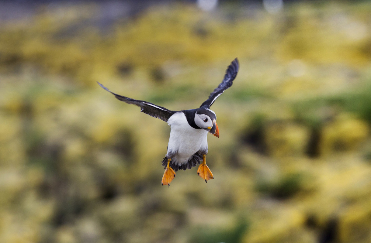 Birds around the North Sea - Atlantic Puffin, Staple Island, the Farne Islands, United Kingdom