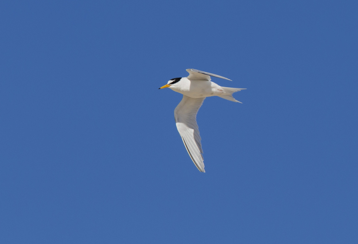 Birds around the North Sea - Little Tern, Texel, the Netherlands