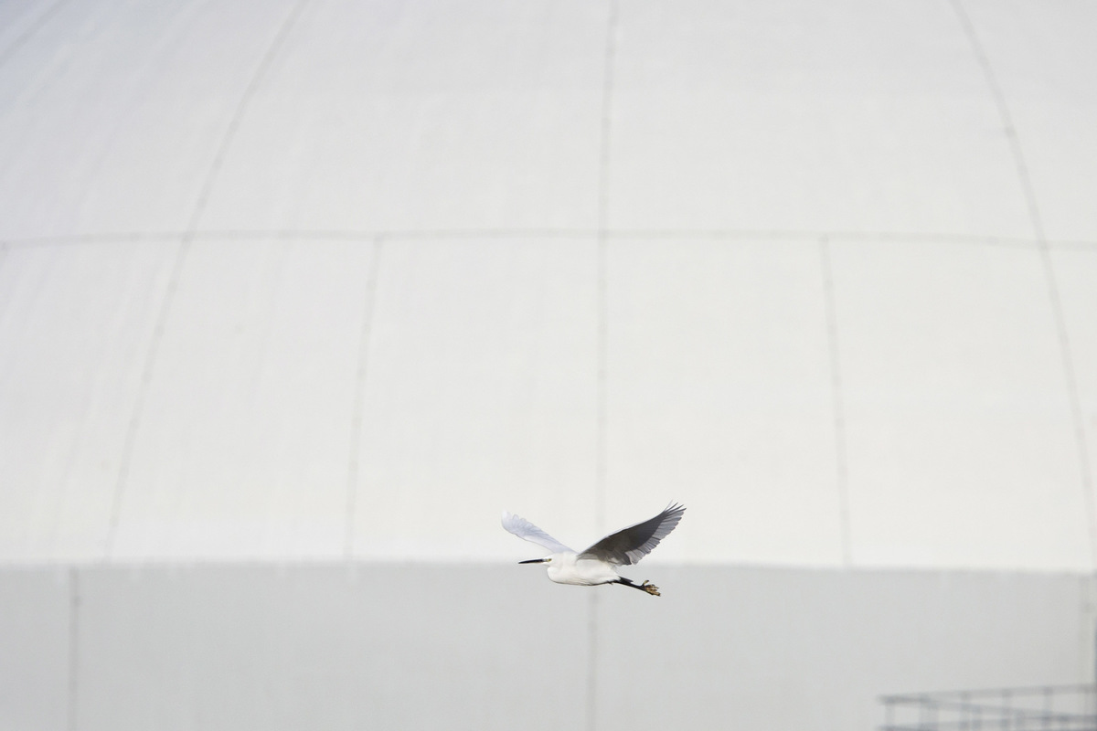 Birds around the North Sea - Little Egret flying in front of a nuclear plant in Borssele, Western Scheldt, the Netherlands