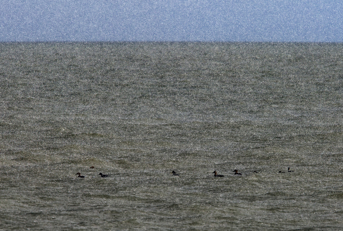 Birds around the North Sea - Eiders in a hailstorm, Wadden Sea, the Netherlands