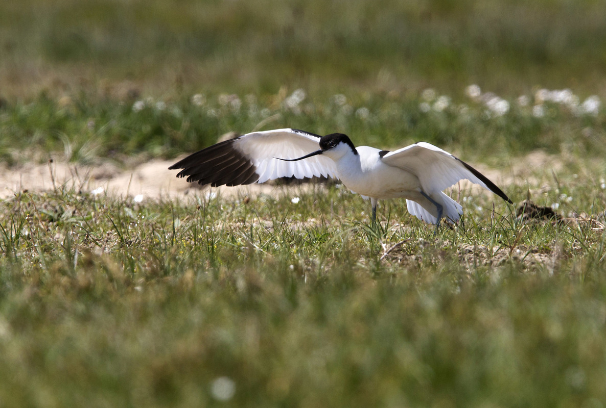 Birds around the North Sea - Avocet, Zwin, Belgium