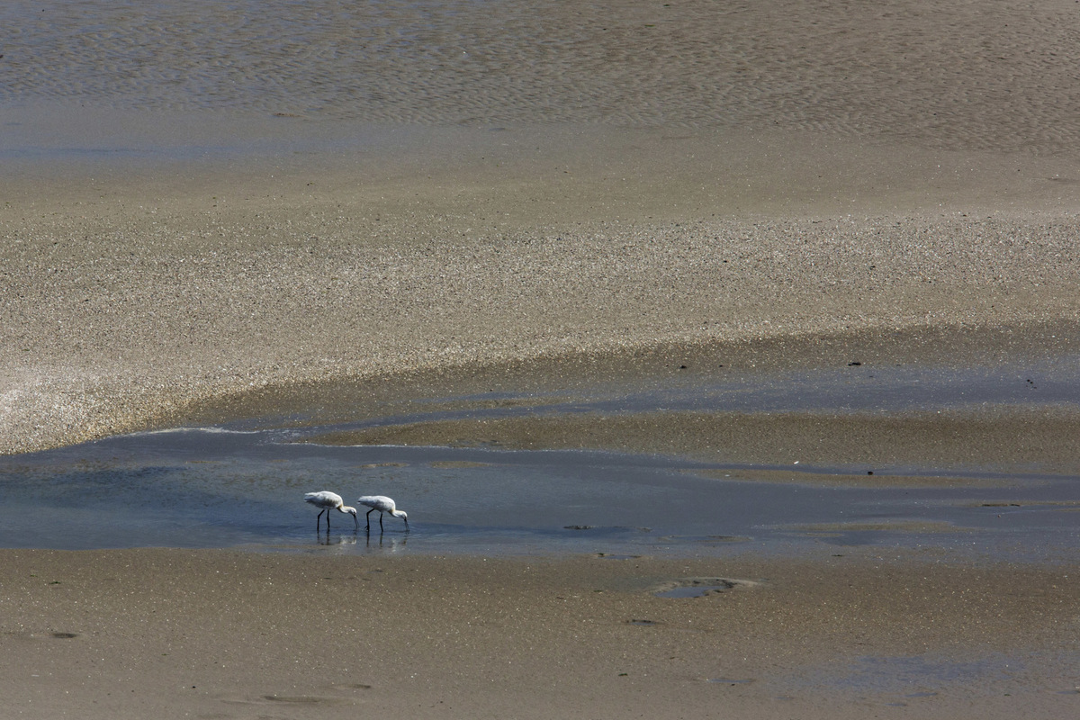 Birds around the North Sea - Spoonbills, Slikken van Voorne, the Netherlands