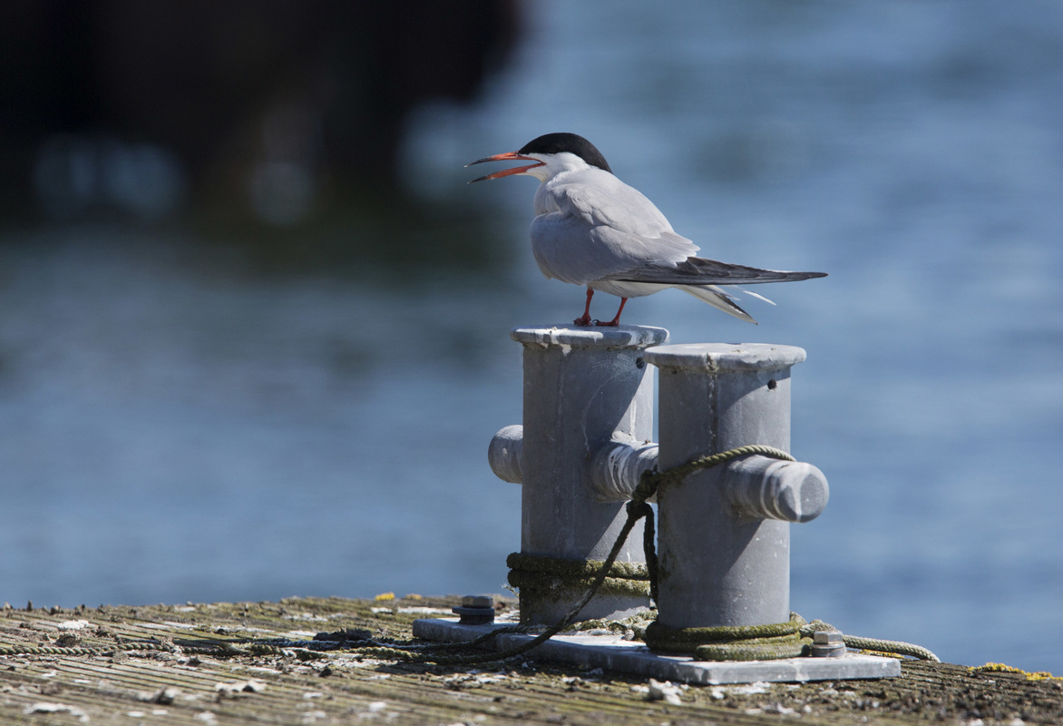 Birds around the North Sea - Common Tern, Lake Bant Tern colony, Wilhelmshaven, Germany
