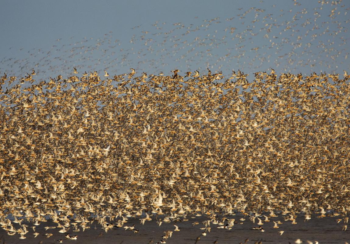 Birds around the North Sea - Sijmen Hendriks Nature Photography - Knots, the Wash, United Kingdom