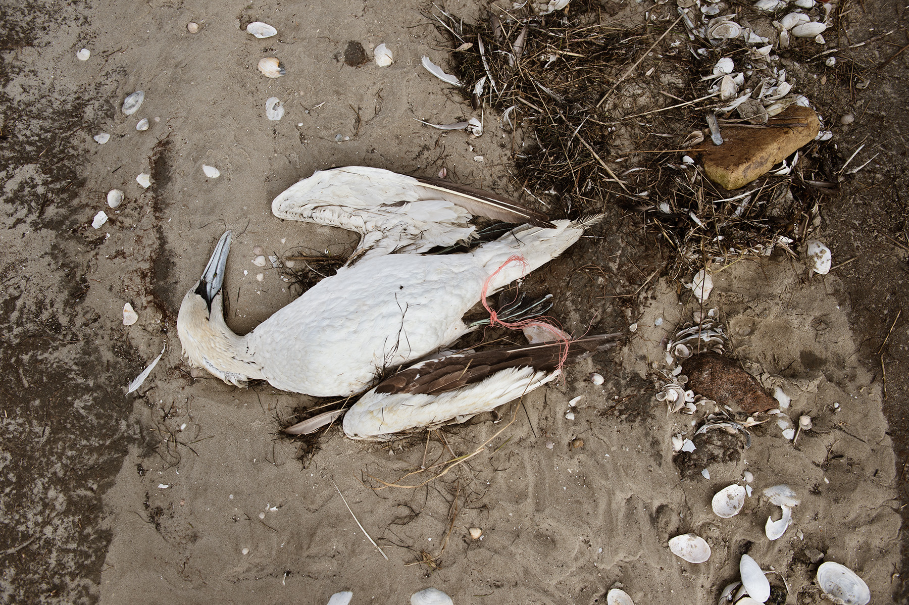 Mareike Timm | Photo Journalist - All dead birds that are washed ashore are noted and provided with a red string so as not to count them again. In her note book Anne writes Northern gannet, adult, west beach, recently dead.