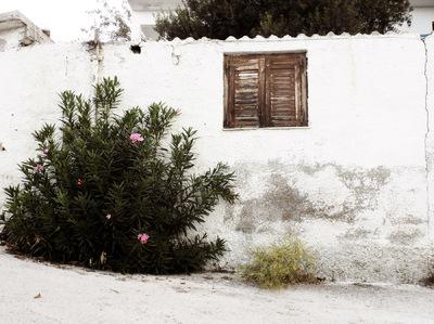 studio svart ateljé vit - Nerium Oleander bush