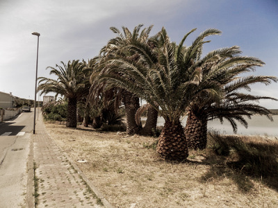 studio svart ateljé vit - Tumbled palms in the port of Carloforte