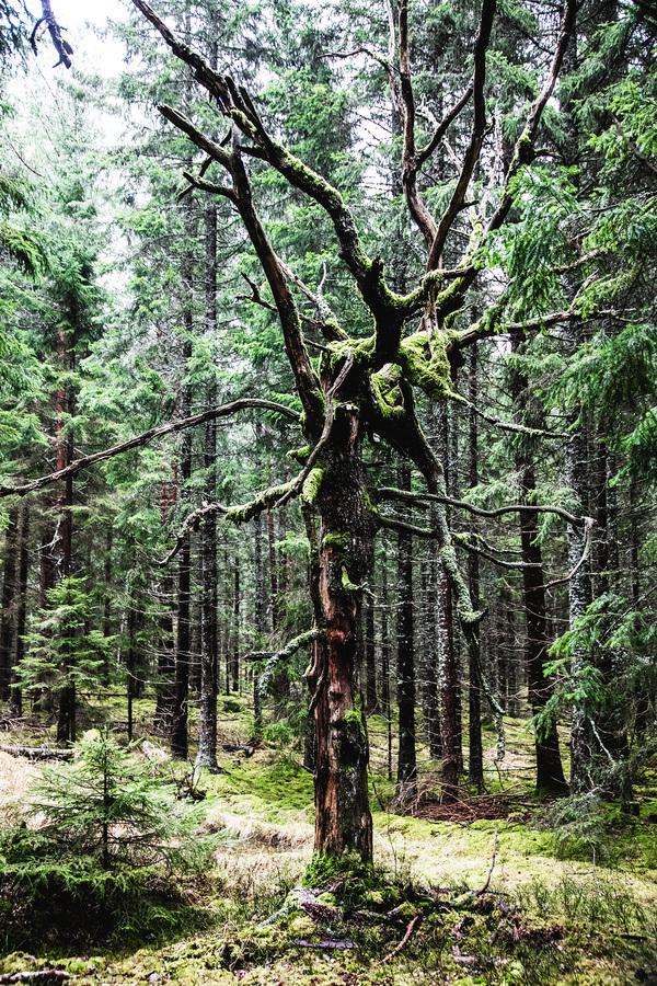 studio svart ateljé vit - Naturens egen trädskulptur
