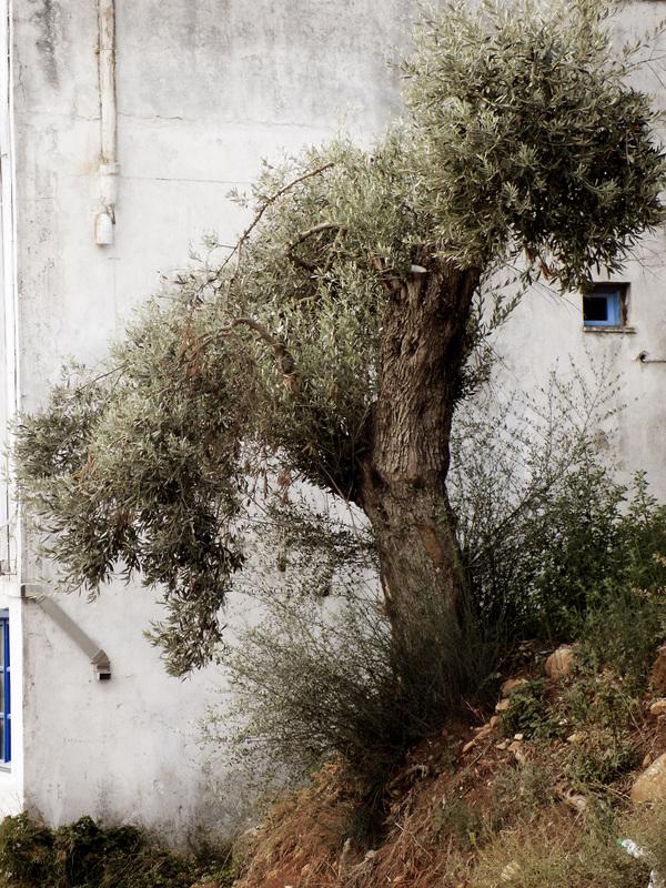 studio svart ateljé vit - Olivträd i slänt