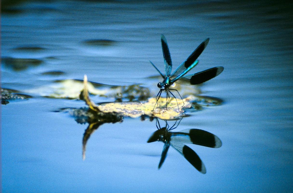 Fabien Delairon photographe - Agrion splendens mâle
