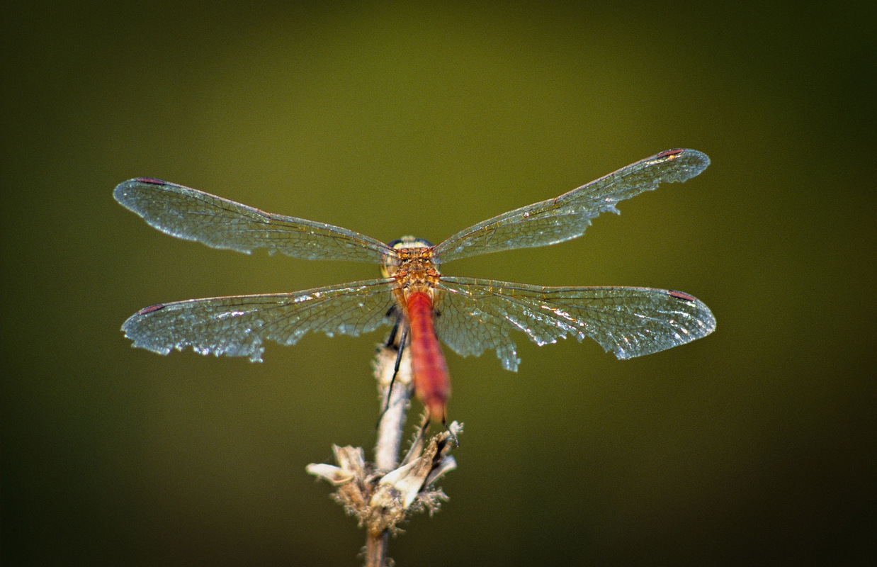 Fabien Delairon photographe - Sympetrum sanguin, fin dété