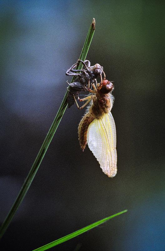 Fabien Delairon photographe - Naissance dune libellule