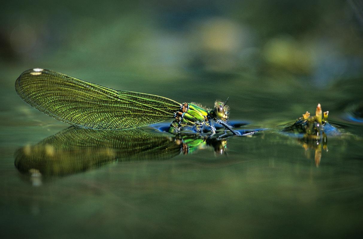Fabien Delairon photographe - Agrion splendens femelle - La ponte