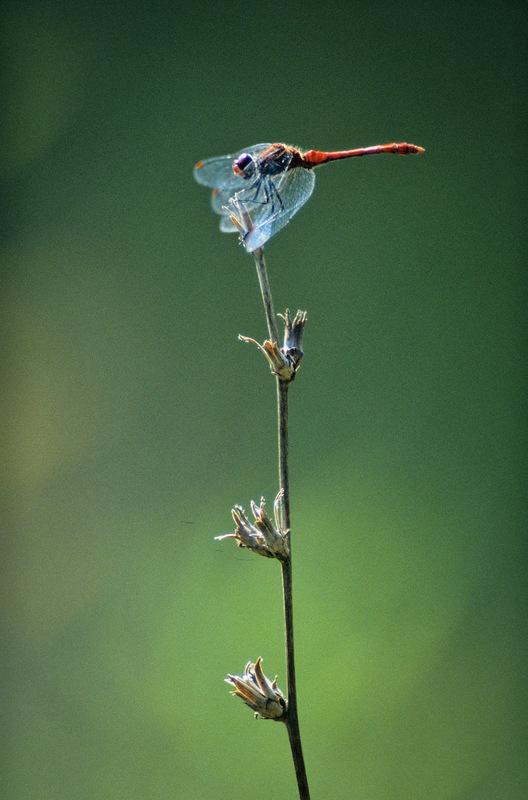 Fabien Delairon photographe - Sympetrum sanguin
