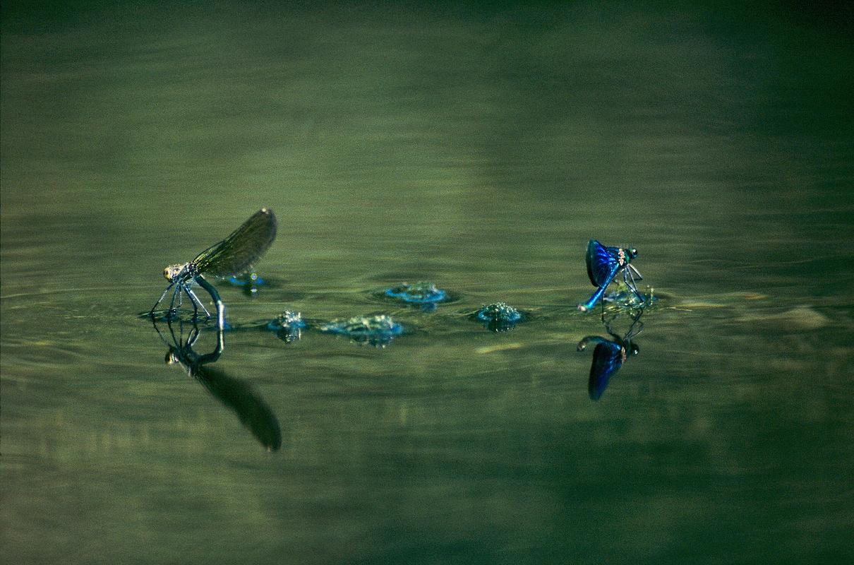 Fabien Delairon photographe - Agrions splendens - Femelle et mâle