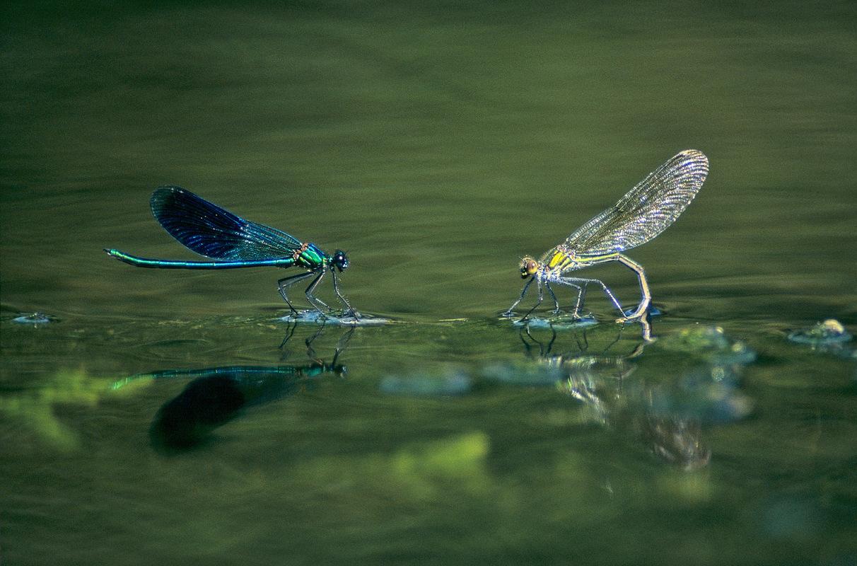 Fabien Delairon photographe - Agrions splendens - Mâle et femelle