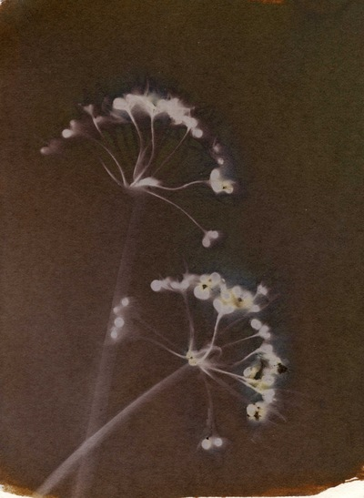 Paper , Shadows and Light. - Wild Garlic flowers.
