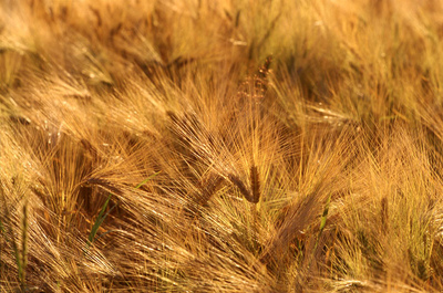 Art Photography - Wheat field in Norway.