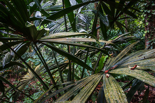 michal sikorski photography - Inside Tropical Rainforest, peninsular Malaysia.