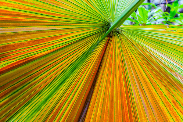 michal sikorski photography - Colorful Palm Leaf in Tropical Rainforest, Borneo, Sarawak, Malaysia.
