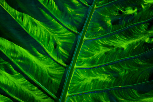 michal sikorski photography - Elephant Ears Plant Leaf, Tropical Rainforest, Singapore.