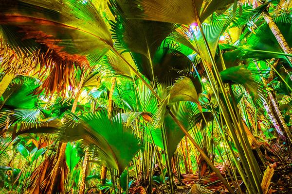 michal sikorski photography - Latannyen lat (Verschaffeltia splendida) in Vallée de Mai Forest, Praslin Island, Seychelles.