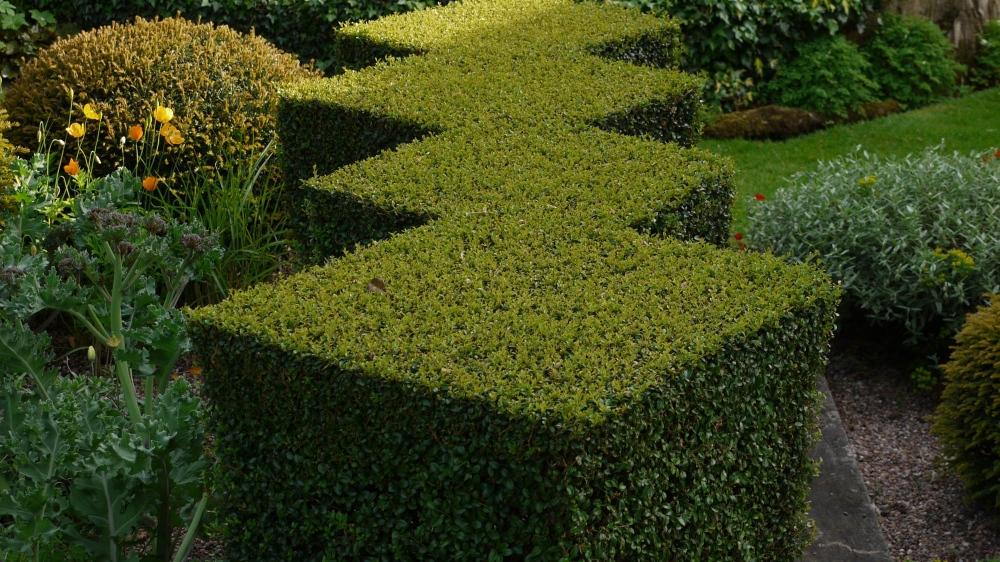 plants by design - Clipped ligustrum jonandrum