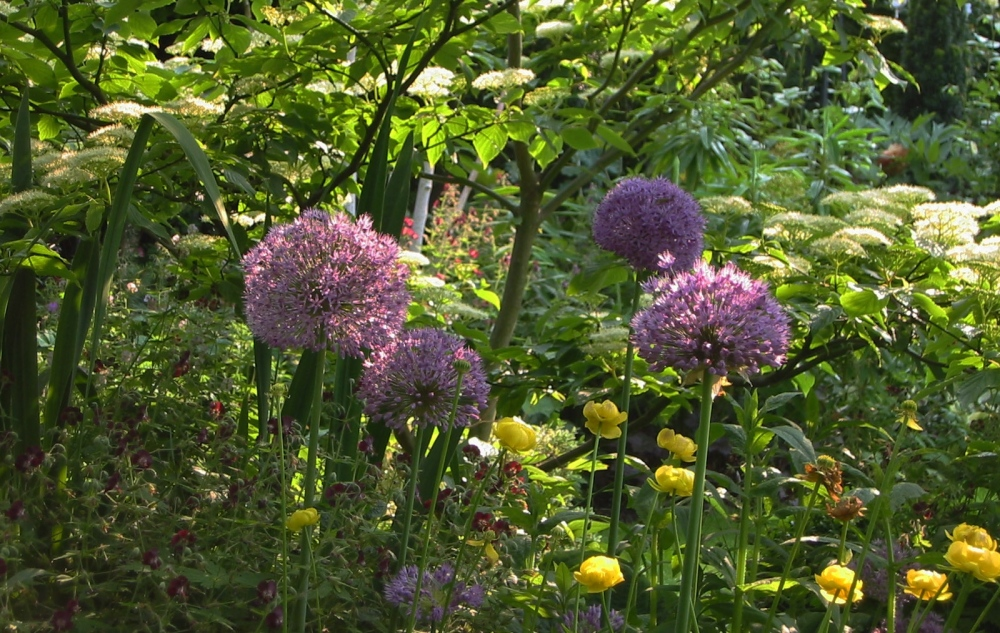 plants by design - Alliums, geranium phaeum, trollius chinensus and cornus controversa