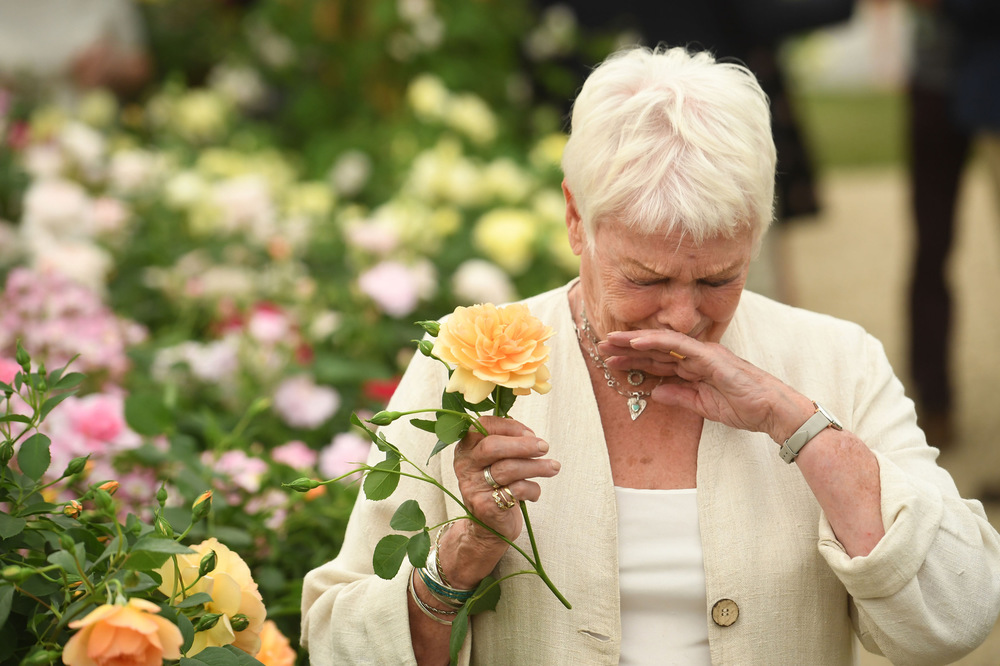 Victoria Jones Press Association Photographer - May 2017  Dame Judi Dench sneezes after sniffing an apricot rose named after her as it is launched by Shropshire grower David Austin Roses at the RHS Chelsea Flower Show in London.