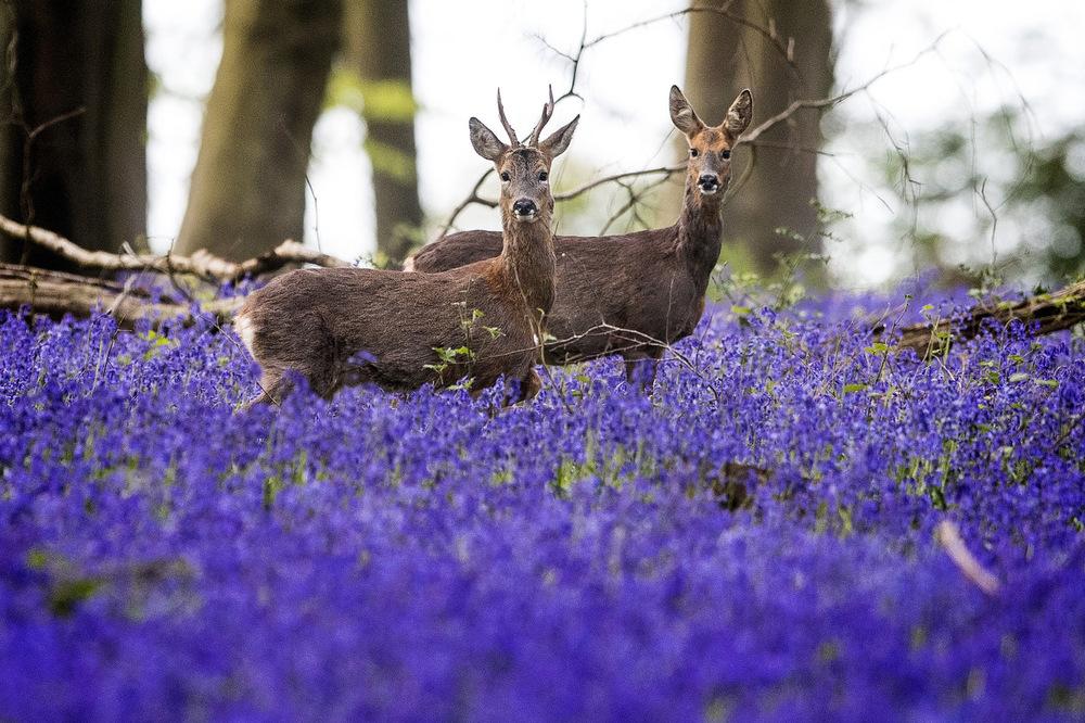 Victoria Jones Press Association Photographer - April 2017  Deer roam through bluebells in Micheldever Wood in Hampshire.