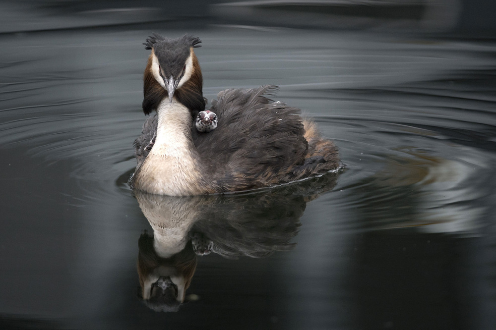 Victoria Jones Press Association Photographer - May 2017  A Great Crested Grebe nurses its young on its back in Blackwall Basin, London.