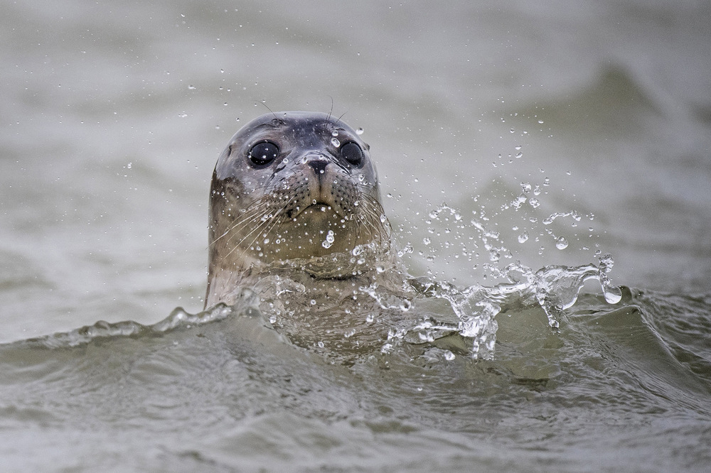 Victoria Jones Press Association Photographer - July 2017  A seal swims in the River Stour in Pegwell Bay, Kent, as marine biologists from ZSLundertake the fifth annual seal survey in the Thames Estuary.