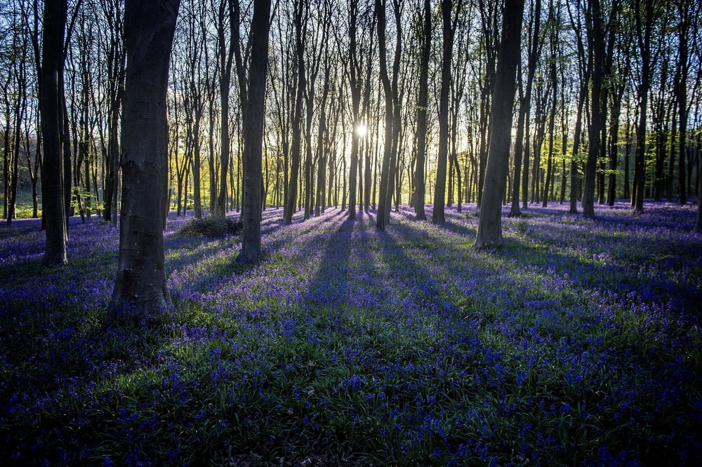 Victoria Jones Press Association Photographer - April 2017  Bluebells are lit by the rising sun in Micheldever Wood in Hampshire.