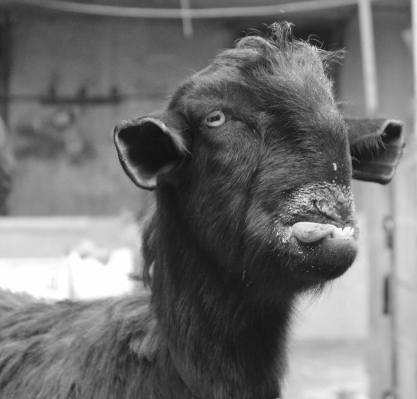 Tariq AlHadad - Smiley goat, Baghdad, IRAQ