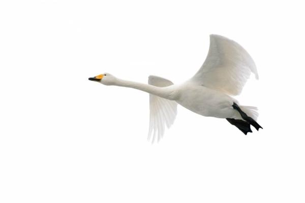 Erik Bjørnøy Olsen - Whooper Swan