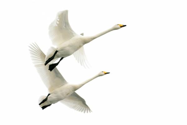 Erik Bjørnøy Olsen - Whooper Swans