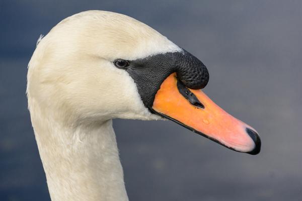 Erik Bjørnøy Olsen - Mute Swan portrait