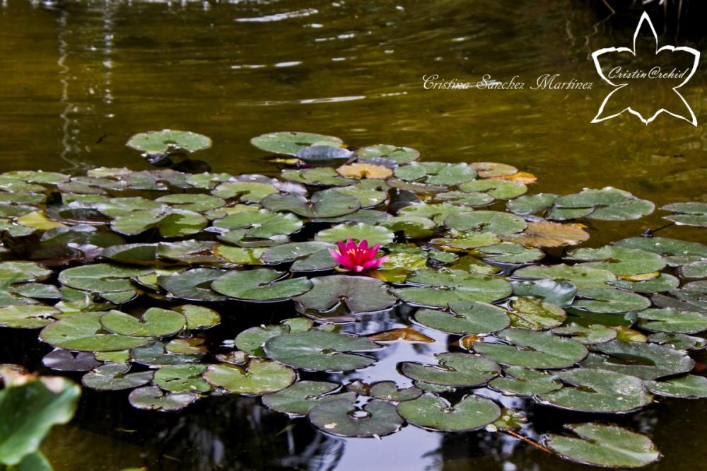 Cristina Sánchez Martínez - Water lily